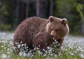 Un ours au regard ravageur