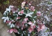 Puzzle Rose de Noël