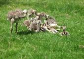 Puzzle bébés autruches au zoo de Lisieux
