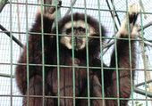 le singe le plus chelouw