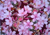 fleurs de cerisiers .