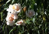 Encore sur le rosier
