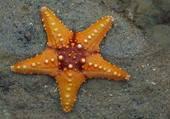 Puzzle étoile de mer