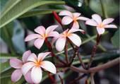 Fleur des Iles
