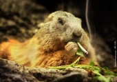 jeannette la marmotte