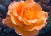 Puzzle ROSE ORANGEE