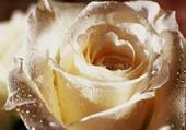 une rose après la pluie