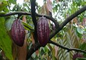 fruits du cacaoyer