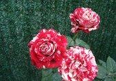 roses julio iglesias