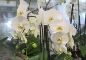 marché de l'orchidée