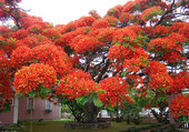 Flamboyant fleuri
