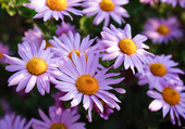 Asters violettes