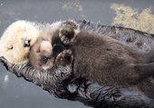Puzzle sieste de loutre avec son bébé