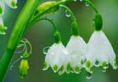 Petites clochettes sous la pluie