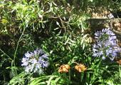Puzzle fleurs d'agapanthe bleue