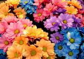 jolies fleurs multicolores