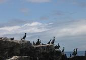 colonnie de cormorans