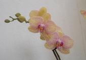 Tige d'orchidée