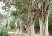eucalyptus corse