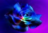 superbe rose