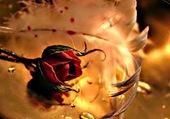 Rose et son écharpe de plume