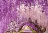 Le tunnel Wisteria au Japon