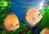 discus blood