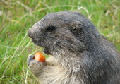 marmotte et sa carotte