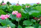 Champs de lotus