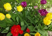 Tulipes au jardin