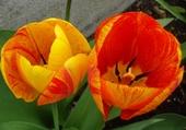 Duo de tulipes