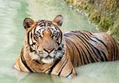 Tigre au bain