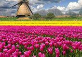 Puzzle Champ de tulipe en Hollande