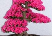 Bonsaï en fleur