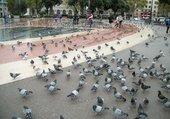 Pigeons à Barcelone