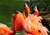 Flamingo choral