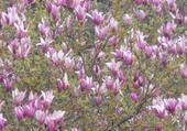 Bel arbre en fleurs
