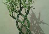 plante chinoise
