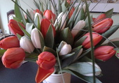 Tulipes bicolores