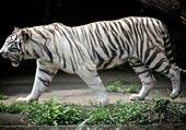 Puzzle Tigre blanc