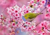 Puzzle Cerisier Sakura