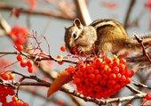 Squirrel in seabuckthorn