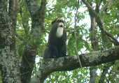 Puzzle Singe le gibbon