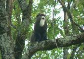 Singe le gibbon