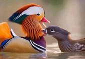 Magnifique canard...