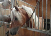 Jument de race Haflinger
