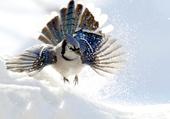 Geai bleu en vol