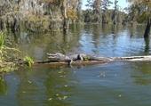 Puzzle Alligator en Louisiane