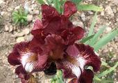 Bel Iris