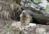 marmotte Hautes-Alpes
